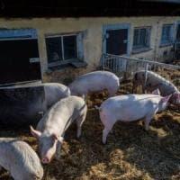 Bulgaria: allarme per la peste suina africana