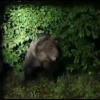 """M49, l'orso ancora in fuga. """"Se catturato non può tornare in quella gabbia"""""""