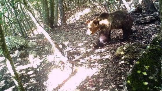 L'Abruzzo vuole l'orso M49, ma non si sa dov'è