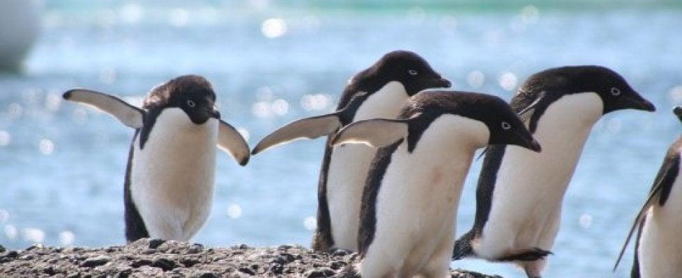 Antartide, i cambiamenti dell'ecosistema minacciano le difese immunitarie dei pinguini