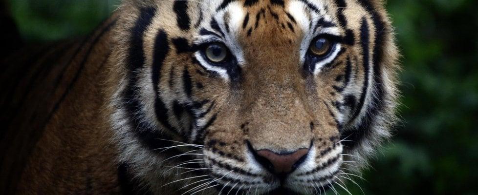 Restano solo 3.890 tigri sul Pianeta, via alla sfida per salvare la specie