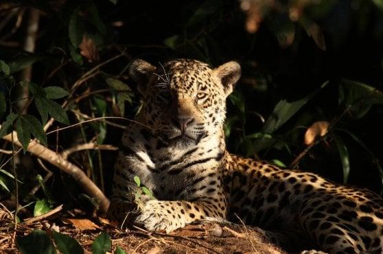 """L'allarme di Greenpeace: """"Gran Chaco, la foresta tropicale sacrificata per la carne"""""""