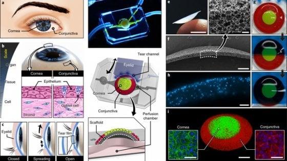 Creato un occhio artificiale in 3D da cellule umane