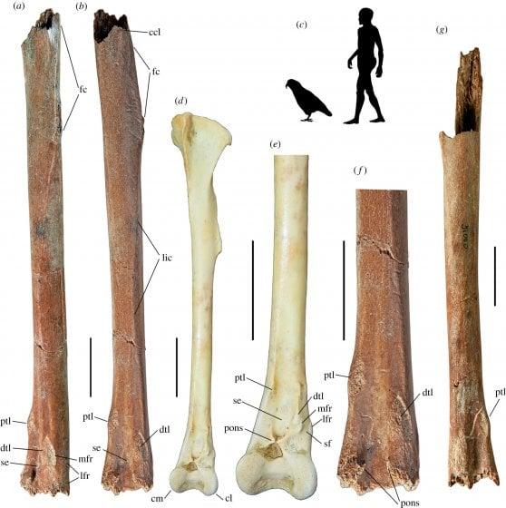 Nuova Zelanda, un pappagallo gigante di 19 milioni di anni