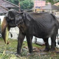 """Sri Lanka, sfila un'elefantessa di 70 anni. Le proteste: """"Malata e denutrita, basta..."""