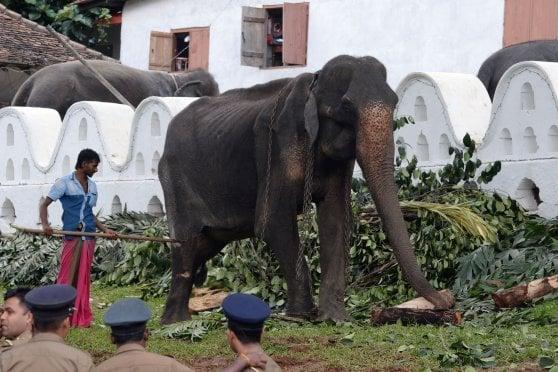 """Sri Lanka, sfila un'elefantessa di 70 anni. Le proteste: """"Malata e denutrita, basta brutalità"""""""