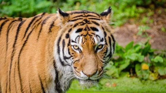 Tigri, in vent'anni oltre 2.300 uccise o diventate trofeo