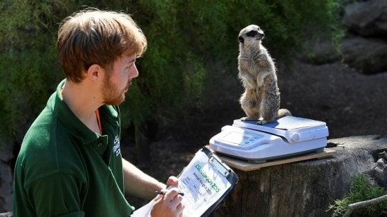 Allo zoo di Londra è la settimana della bilancia: gli animali sono pesati e misurati per il controllo annuale