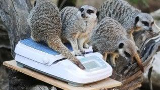 Allo zoo di Londra è la settimana della bilancia: animali pesati e misurati per il controllo annuale