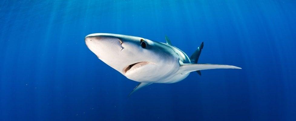 Squali e razze a rischio estinzione, minacciate dalla pesca e dalla plastica
