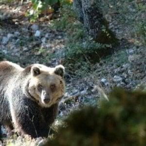 Molise, orsa sconfina dal territorio del Parco: investita e uccisa da veicolo pirata