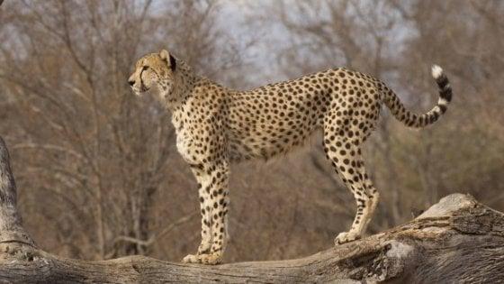 Ghepardi a rischio estinzione, sotto accusa gli ultra-ricchi