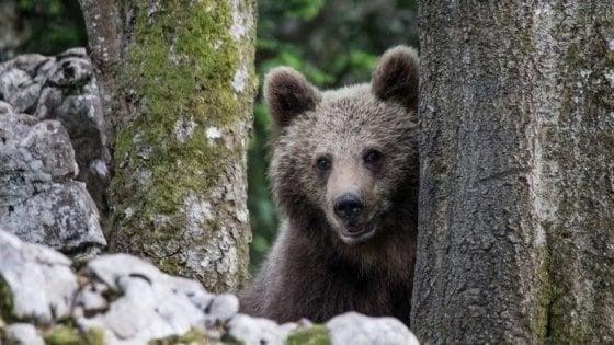 Trentino, nuove tracce dell'orso M49: trovata uccisa una manza