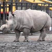 Creati due embrioni, si spera di salvare il rinoceronte bianco dall'estinzione