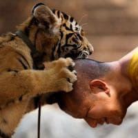 Thailandia, tigri salvate dal tempio buddista. La metà è morta