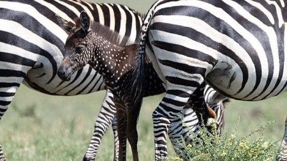 "Africa, avvistata una zebra a pois: ""Ora va protetta"""