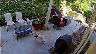 Coyote attacca cane anziano: il cucciolo di terrier lo mette in fuga
