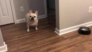 Ciotola vuota: il grido furibondo e strappacuore del bulldog a dieta