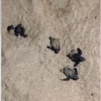 Sardegna, a Cala Sinzias nascono 74 tartarughe: è la prima volta in tutta l'estate