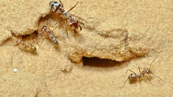 Nel Sahara le formiche super veloci: 10 volte più di Bolt