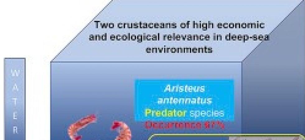 Scampi e gamberi viola: i crostacei più richiesti sono pieni di microplastiche