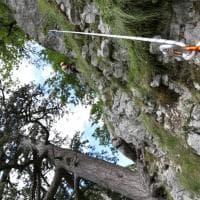 Fara di San Martino, il pino nero di 900 anni