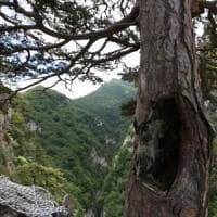 """Quel pino nero di 900 anni esiste davvero. """"Sopravvissuto perché nascosto in un burrone"""""""