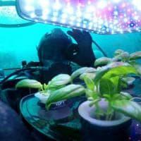 """Il super basilico cresce in fondo al mare. """"Più verde e aromatico"""""""