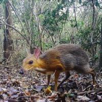 Vietnam, dopo 30 anni ricompare il cervo-topo
