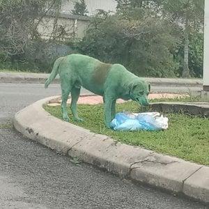 """Cane imbrattato di verde e in lacrime: """"Avvelenato dalla vernice"""". La denuncia social: """"È totalmente disumano"""""""