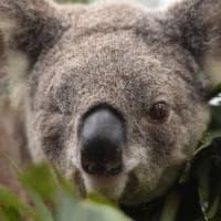 Gli incendi minacciano i koala in Australia, potrebbero sparire in 30 anni