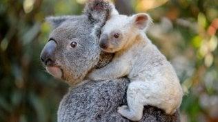 Australia, gli incendi minacciano i koala: specie a rischio in 30 anni