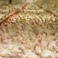 Antibiotici negli allevamenti di animali, in Italia vendite tra le più alte in Ue
