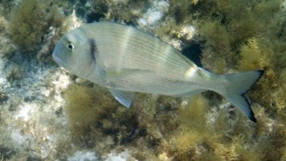 Gli antidepressivi che finiscono in mare cambiano il comportamento dei pesci
