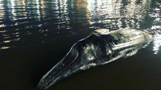 Londra, balena spiaggiata trovata sulle rive del Tamigi