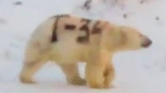 Russia, orso polare imbrattato con la scritta nera 'T-34', il famoso carro armato sovietico