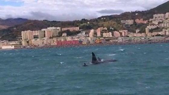 """""""Quattro orche nel porto di Genova, una corsa contro il tempo per la salvezza"""""""
