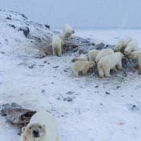 Orsi polari invadono villaggio russo: sfamati dagli abitanti
