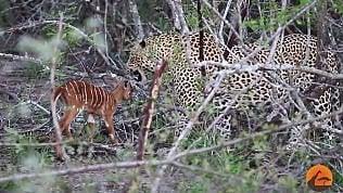 La piccola antilope attacca il leopardo: la scena è straordinaria