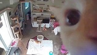 Il gatto scopre la telecamera nascosta: il risultato è esilarante