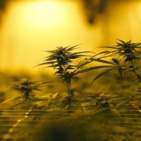 Cannabis light, via libera alla vendita se il thc è sotto lo 0,5%