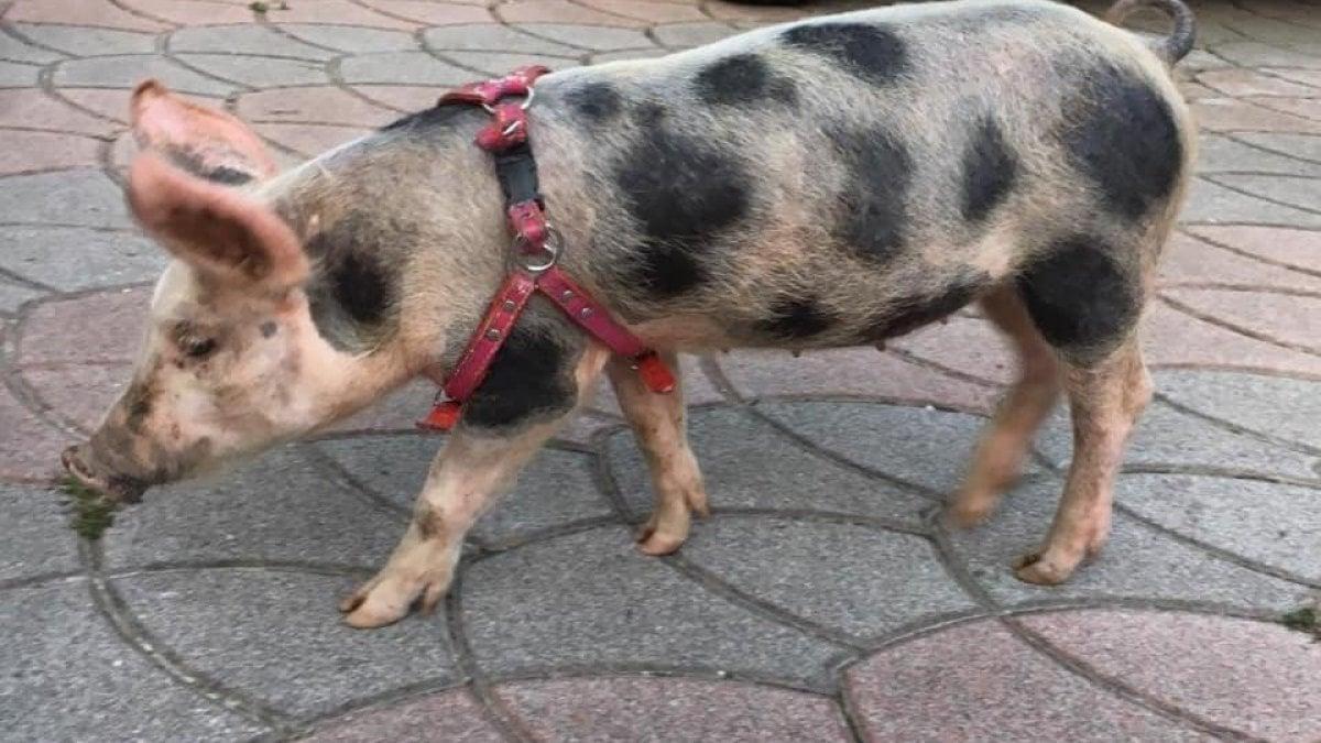 Oroscopo Cinese Maiale 2019 il maiale italiano sulla via della seta: partito (in ritardo