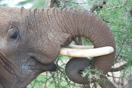 La proboscide dell'elefante ispira nuovi robot manipolatori