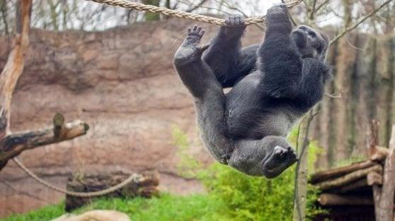 Germania, incendio allo zoo fa strage di scimmie. Sopravvivono sette gorilla
