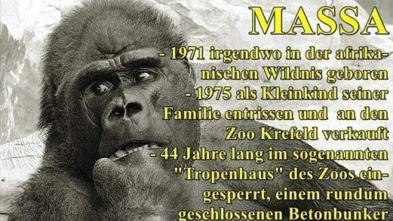 Massa, il gorilla più anziano che doveva salvare la specie