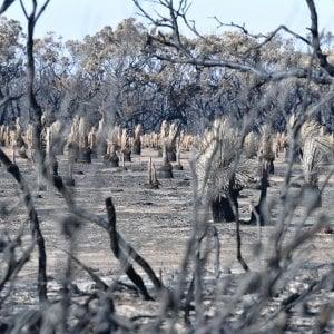 Australia, Wwf: 8mila koala dispersi negli incendi, morti 480 milioni di animali