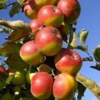 La mela rosa messa in crisi dal terremoto diventa il frutto della salute