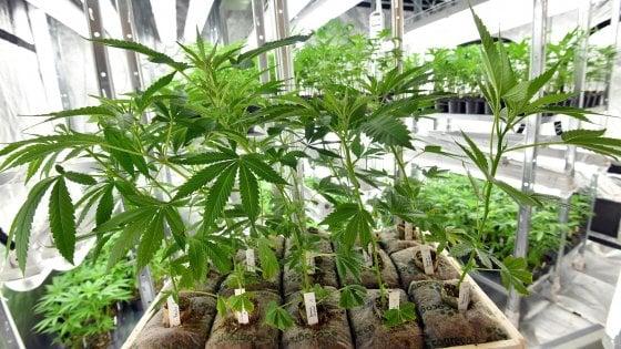 Arriva la cannabis a tavola, dai biscotti all'olio