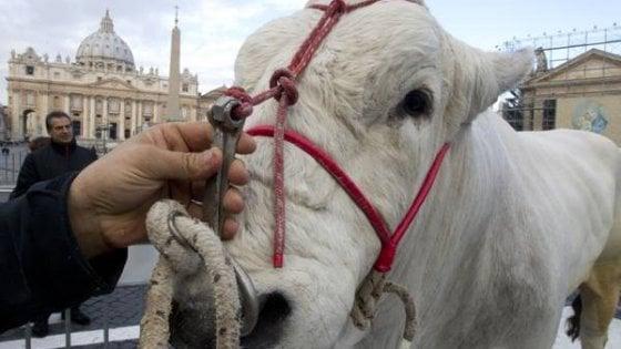 Mucche, pecore e maiali: in piazza S. Pietro gli animali da fattoria