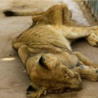 """""""Sudan, i leoni dello zoo stanno morendo"""", sui social la campagna per salvarli"""